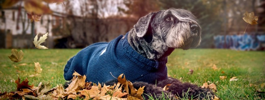 A dog wearing secanskin.